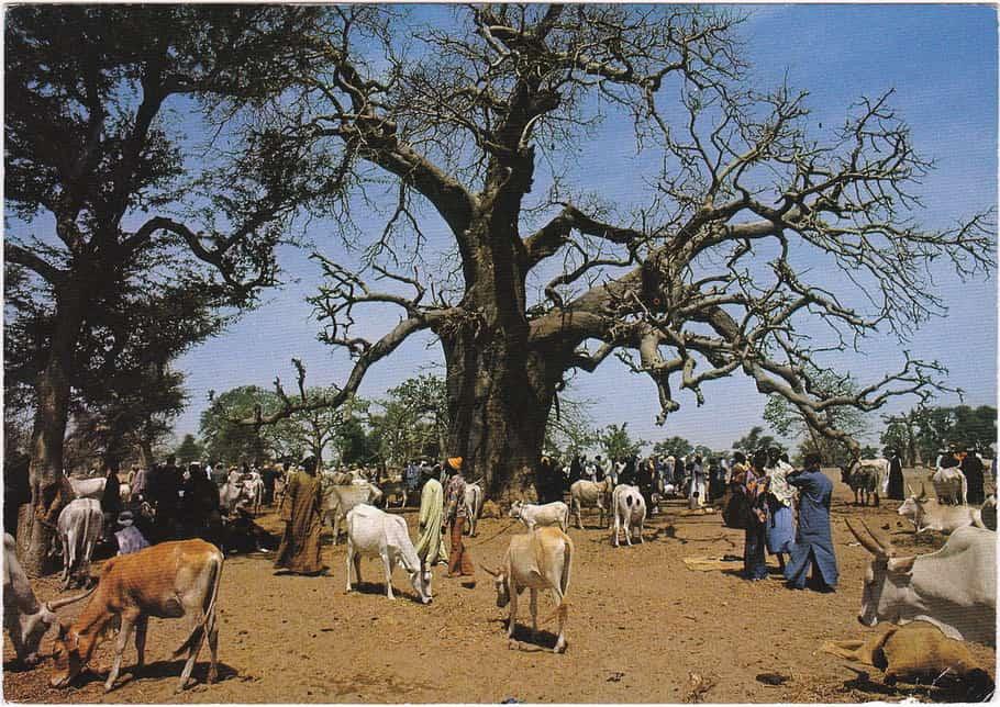 Marché aux bestiaux vaches près de Diourbel