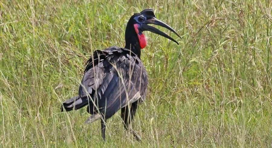 Calao terrestre (Bucorvus abyssinicus)